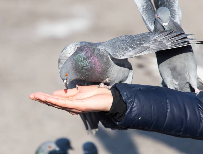 Pigeon on the hand on nature . I